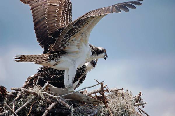 Photograph - Juvenile Osprey by Donna Proctor