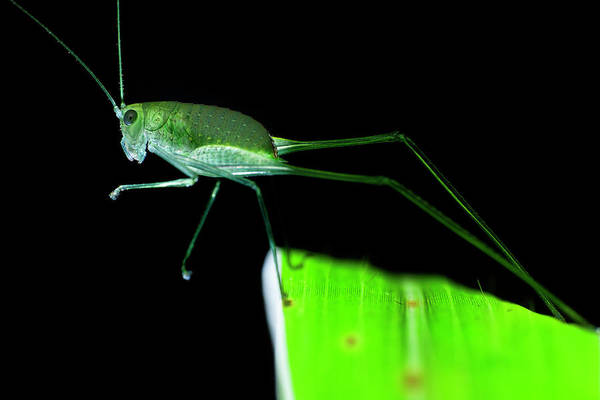 Wall Art - Photograph - Katydid On Leaf by Melvyn Yeo/science Photo Library
