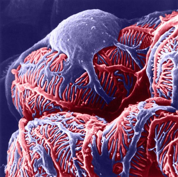Photograph - Kidney Glomerulus, Sem by Don W Fawcett