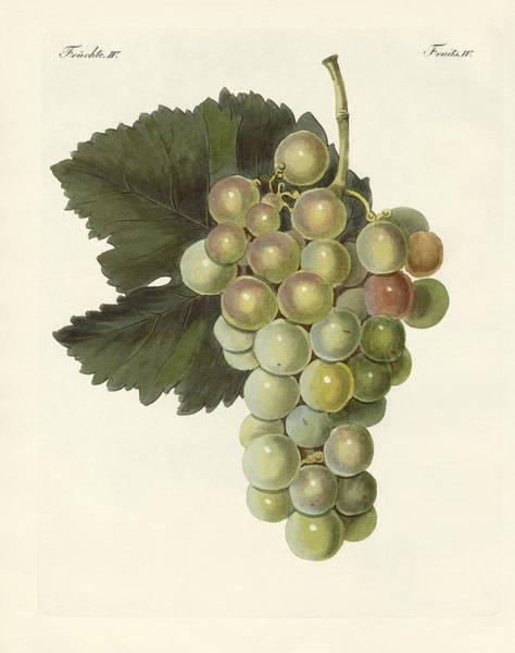 Grape Drawing - Kinds Of Vines by Splendid Art Prints