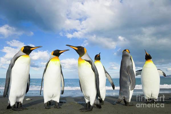 Photograph - King Penguins In Gold Harbour  by Yva Momatiuk John Eastcott
