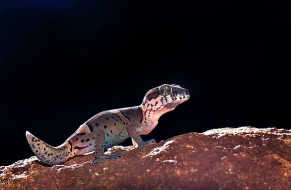 Wall Art - Photograph - Kollegal Ground Gecko by K Jayaram