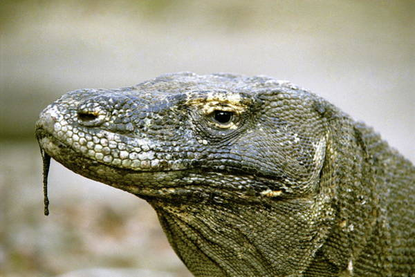 Drool Photograph - Komodo Dragon by Zephyr/science Photo Library