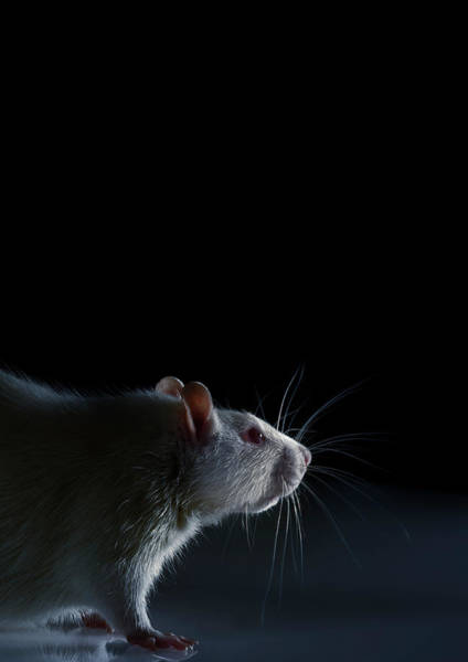 Rodents Photograph - Laboratory Rat by Coneyl Jay/science Photo Library