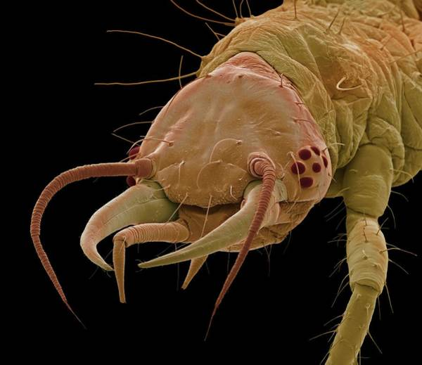 Biological Pest Control Photograph - Lacewing Larva by Steve Gschmeissner/science Photo Library
