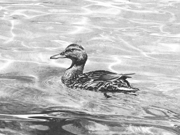 Photograph - Lake Tahoe Duck by Frank Wilson