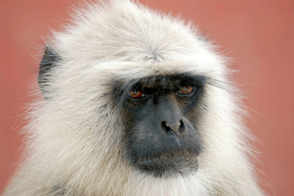 Old World Monkey Photograph - Langur Monkey by Simon Fraser/science Photo Library