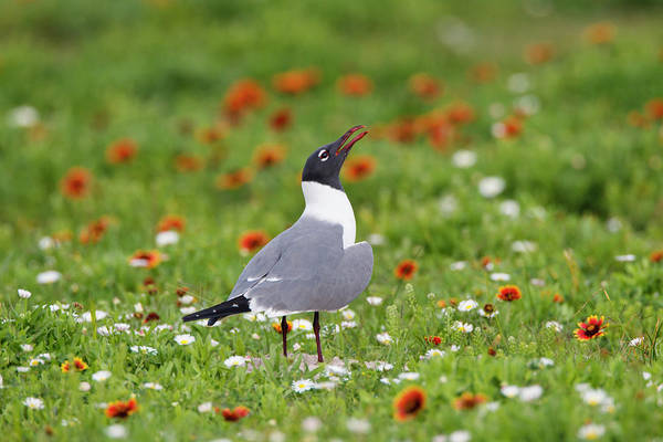 Birds Of Texas Photograph - Laughing Gull, Larus Atricilla by Larry Ditto