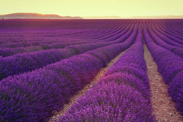 Photograph - Lavender Field At Dusk by Mammuth