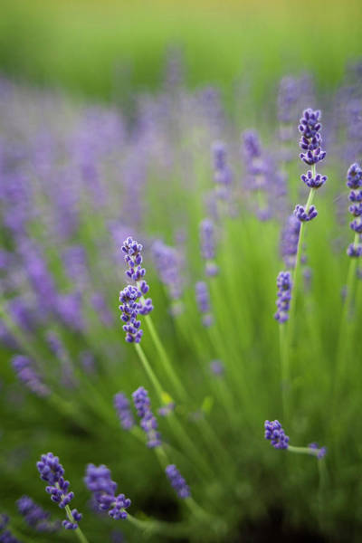 Fragrant Photograph - Lavender Plants by Brent Bergherm