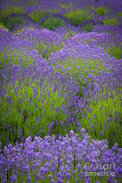 Up North Photograph - Lavender Study by Inge Johnsson