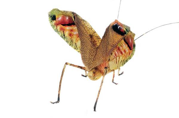 Wing Back Photograph - Leaf Mimic Bush Cricket by Sinclair Stammers/science Photo Library
