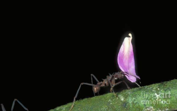 Photograph - Leafcutter Ant by Gregory G. Dimijian