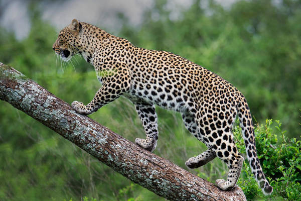 Panthera Pardus Photograph - Leopard Panthera Pardus Climbing by Panoramic Images