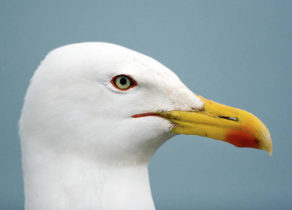 Wall Art - Photograph - Lesser Black-backed Gull by John Devries/science Photo Library