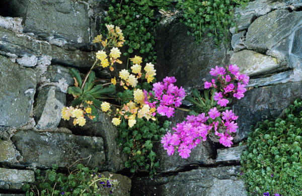 Strain Wall Art - Photograph - Lewisia 'ashwood Strain' Flowers by Tony Wood/science Photo Library
