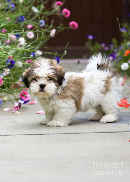 Wall Art - Photograph - Lhasa Apso Puppy by Ruth Black