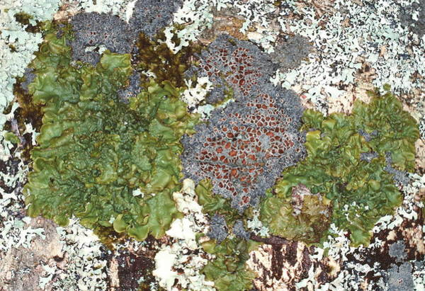 Rowan Photograph - Lichens by Dr Jeremy Burgess/science Photo Library