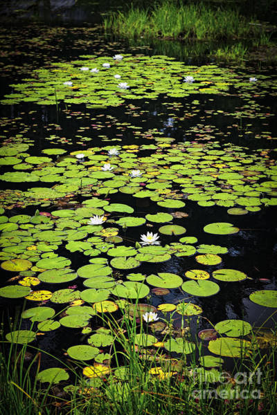 Wall Art - Photograph - Lily Pads On Dark Water by Elena Elisseeva