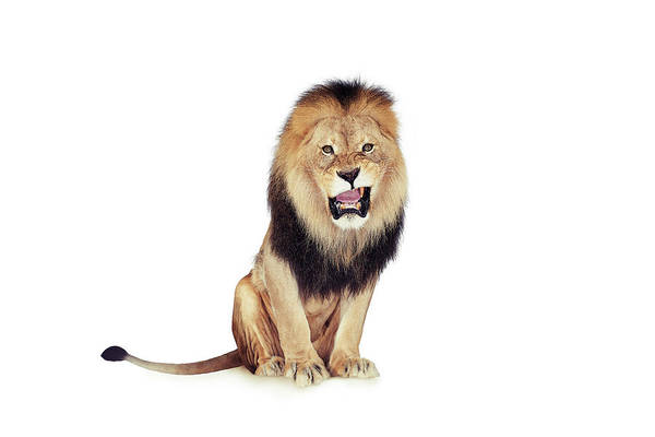 Threat Photograph - Lion by Andrew John Simpson