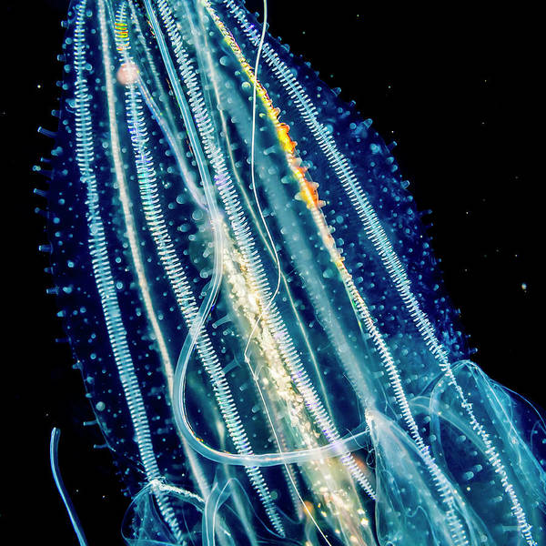 Wall Art - Photograph - Lobate Ctenophore Or Comb Jelly by Thomas Kline