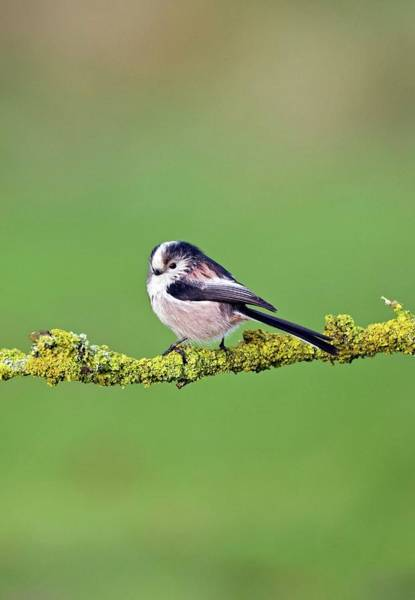 Long Tail Photograph - Long-tailed Tit by John Devries/science Photo Library