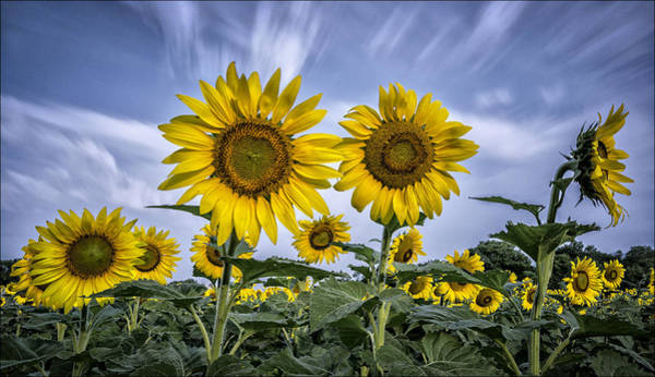 Helianthus Annuus Photograph - Looking At The Sun by Robert Fawcett