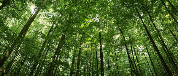 Peacefulness Photograph - Low Angle View Of Beech Trees by Panoramic Images