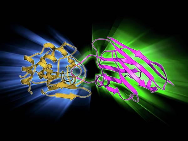 Antibody Wall Art - Photograph - Lysozyme Complexed With Antibody by Laguna Design