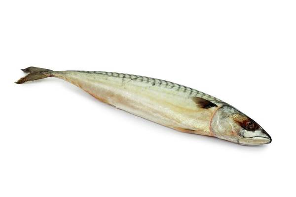 Wall Art - Photograph - Mackerel by Geoff Kidd/science Photo Library