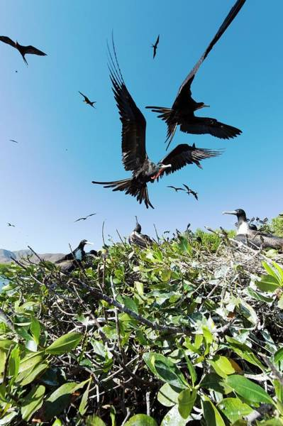 Baja Mexico Photograph - Magnificent Frigatebirds by Christopher Swann