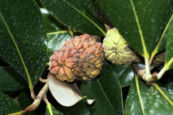 Wall Art - Photograph - Magnolia Grandiflora by Brian Gadsby/science Photo Library