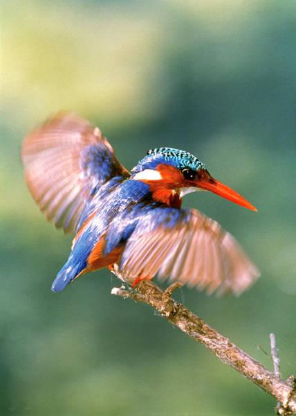 Alcedo Photograph - Malachite Kingfisher by Tony Camacho/science Photo Library