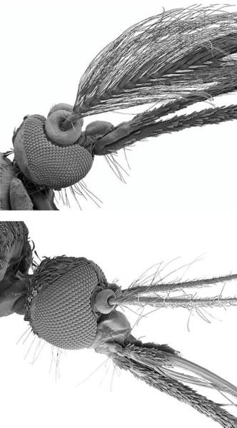 Wall Art - Photograph - Male And Female Mosquito Heads by Steve Gschmeissner/science Photo Library
