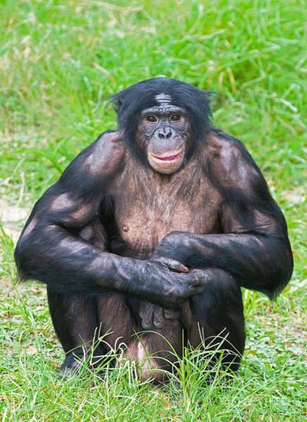Bonobos Photograph - Male Bonobo by Millard H. Sharp