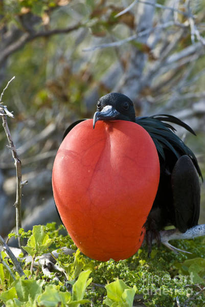 Gular Photograph - Male Great Frigatebird by William H. Mullins