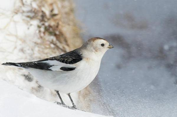 Cairngorms Photograph - Male Snow Bunting by Duncan Shaw