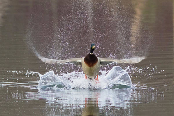 Anas Platyrhynchos Photograph - Mallard Drake Flying by Ken Archer