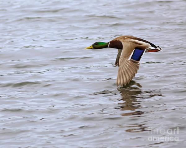 Wall Art - Photograph - Mallard Duck In Flight by Louise Heusinkveld