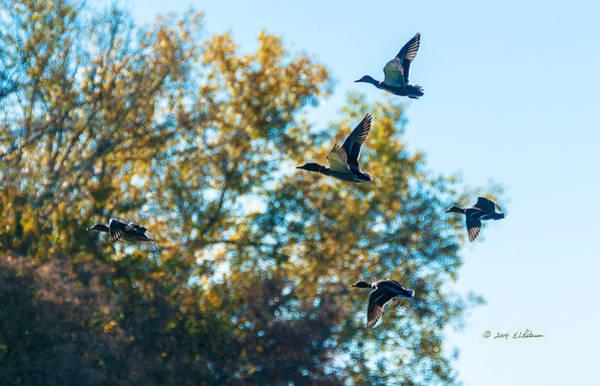 Photograph - Mallards In Flight by Edward Peterson
