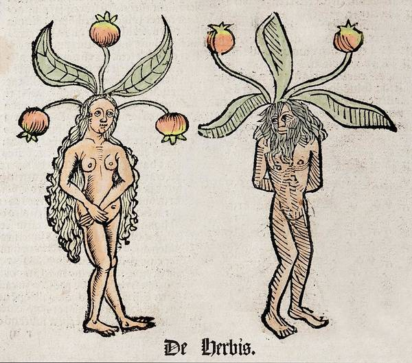 Encyclopedia Wall Art - Photograph - Mandrakes by Paul D Stewart