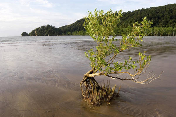Wall Art - Photograph - Mangrove Tree And Roots by Matthew Oldfield/science Photo Library