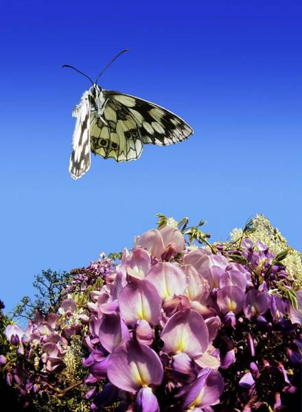 Wisteria Wall Art - Photograph - Marbled White Butterfly by Dr. John Brackenbury/science Photo Library