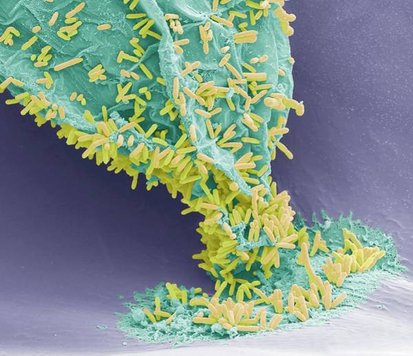 Wall Art - Photograph - Marine Bacteria by Steve Gschmeissner/science Photo Library
