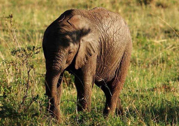 Photograph - Masai Mara Elephant Calf by Aidan Moran