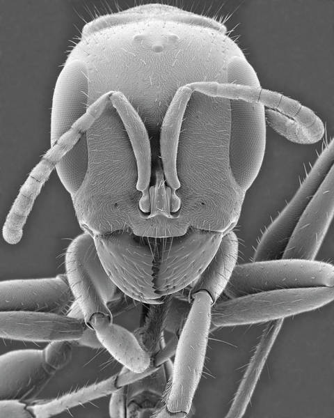 Wall Art - Photograph - Mexican Ant by Dennis Kunkel Microscopy/science Photo Library