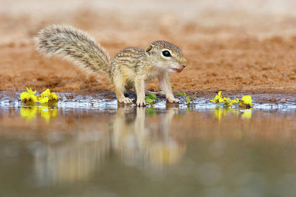 Ie Wall Art - Photograph - Mexican Ground Squirrel (spermophilus by Larry Ditto