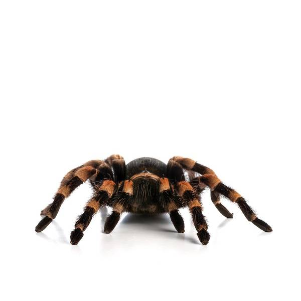 Wall Art - Photograph - Mexican Redknee Tarantula by Science Photo Library
