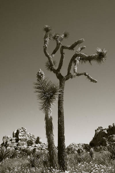 Photograph - Joshua Tree National Park Landscape No 2 In Sepia by Ben and Raisa Gertsberg