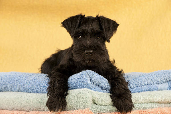 Schnauzer Photograph - Miniature Schnauzer Puppy by John Daniels